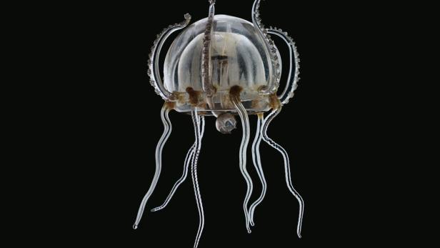 Eines der gläsernen Modelle, die im Naturhistorischen Museum zu sehen sein werden