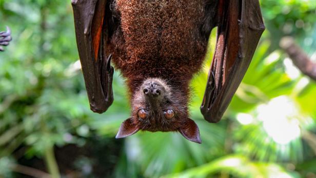 Fledermäuse übertrugen das Virus