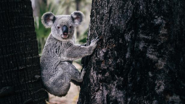 Ein Koala zwischen zwei Bäumen